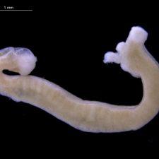 klasse wormmollusken