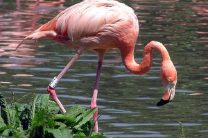 orde flamingo's