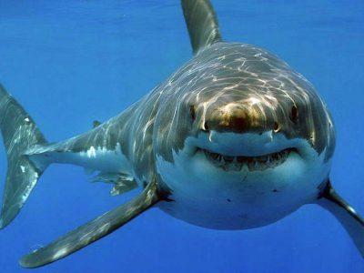 Een witte haai gezien vanuit een kooi in Gansbaai.