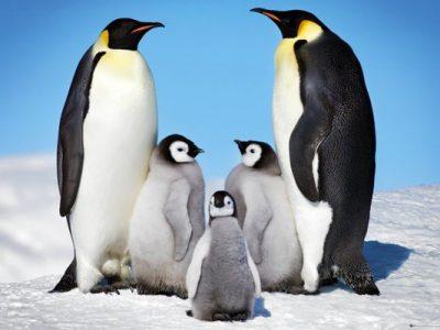 orde pinguins