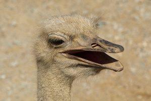orde struisvogels