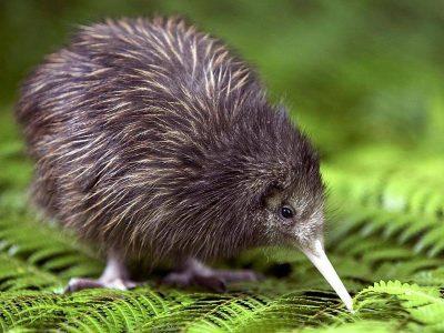 kiwi's 6