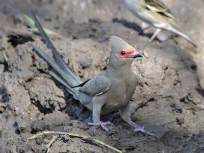 muisvogels 5