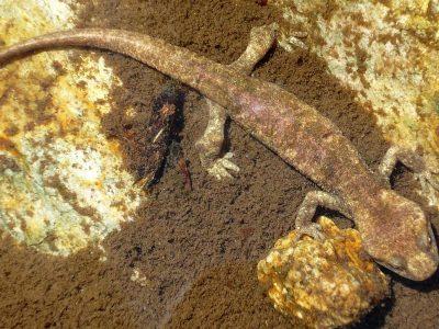 Corsicaanse beeksalamander