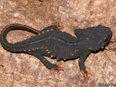 Japanse krokodilsalamander