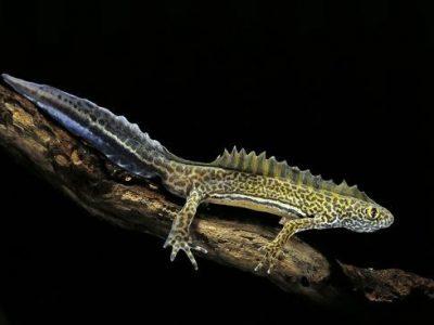 bandsalamander