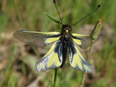 gewone vlinderhaft
