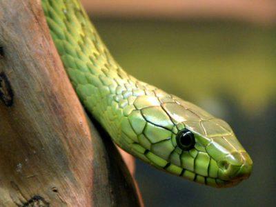 groene mamba