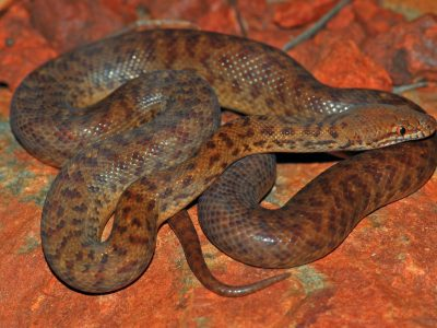 Pygmy python (Antaresia perthensis). Donated to Wikipedia