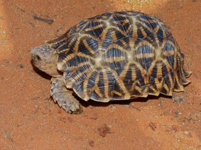 stekelrandlandschildpad