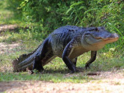 Amerikaanse alligator (8)