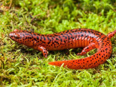 rode salamander (2)