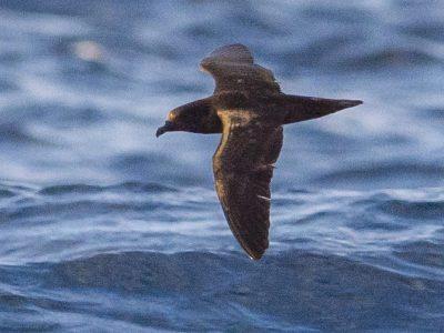 Macgrillyvrays stormvogel