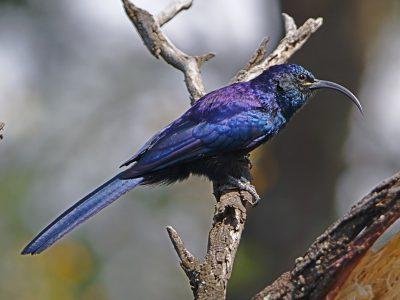 Zuid-Afrikaanse boomhop