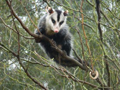 Zuid-Amerikaanse opossum (6)