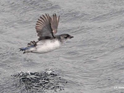 Zuid-Georgisch alkstormvogeltje-1