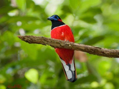 roodnektrogon