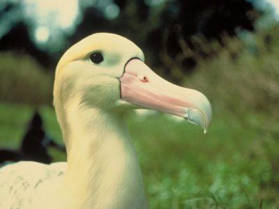 stellers albatros-4