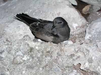 tristrams stormvogeltje (4)