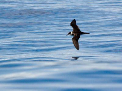 vanuatustormvogel