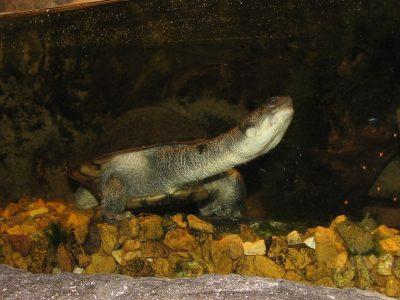 Nieuw-Guinese slangenhalsschildpad