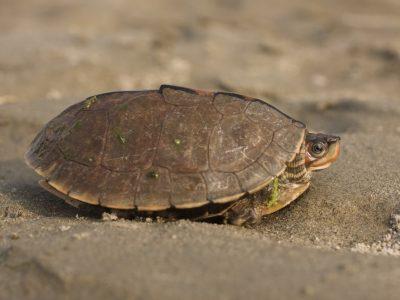 Smiths aardschildpad