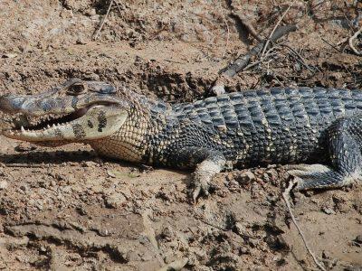 alligators-5
