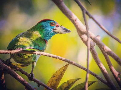 blauwkeelbaardvogel