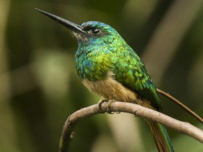 blauwkruinglansvogel