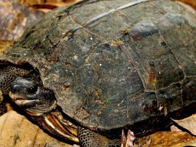 bruine aardschildpad