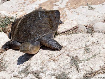 halskwabweekschildpad