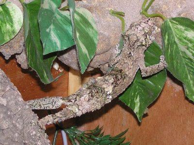 mosbladstaartgekko