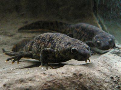 ribsalamander