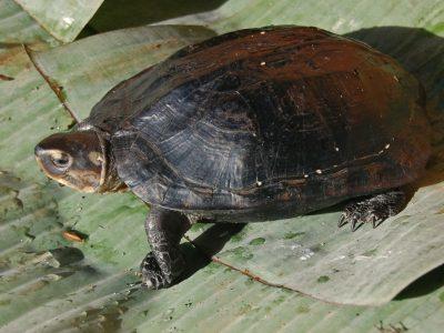 zwarte dikkopschildpad