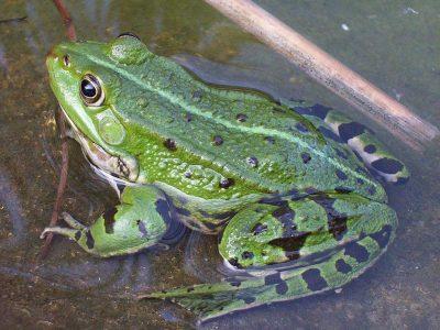 middelste groene kikker-1