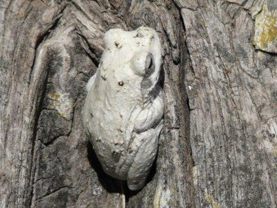 Afrikaanse grijze boomkikker
