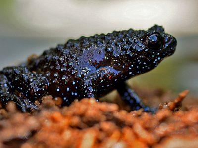 Indische zwarte kikker