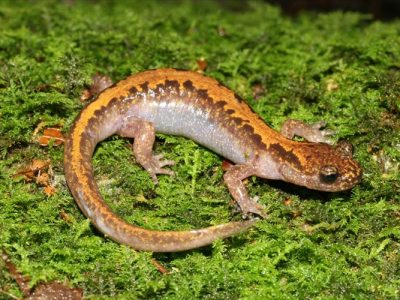 Aziatische salamanders