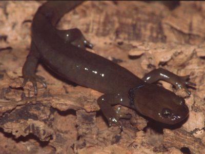 hoornvoetsalamander