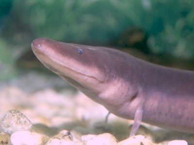 aalsalamanders