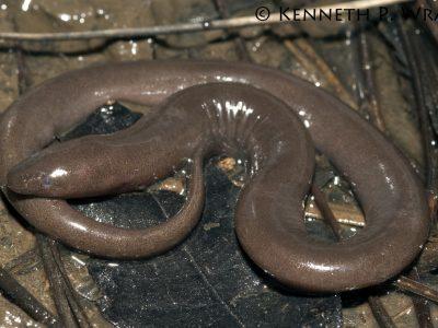 eentenige aalsalamander