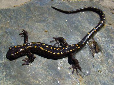 Kaukasische landsalamander