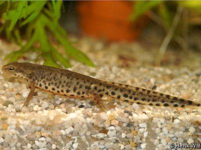 Spaanse watersalamander