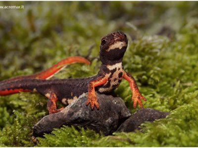 brilsalamander
