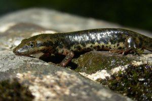 echte salamanders