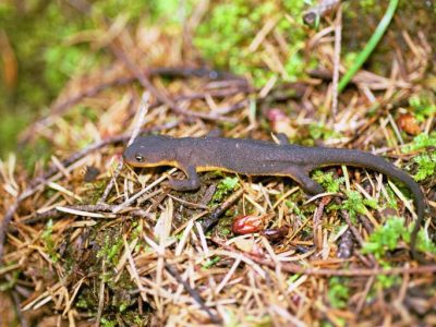 ruwe salamander
