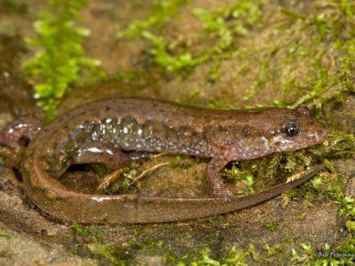 bruine beeksalamander