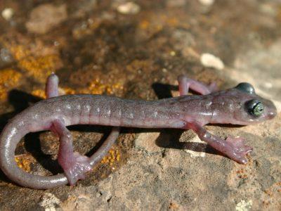 grootvoetknobbelsalamander