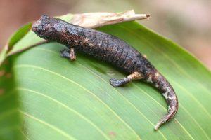 longloze salamanders