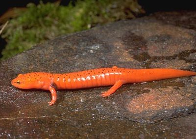 rode salamander